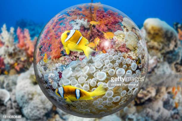 clown fish and sea anemone - underwater film camera stock pictures, royalty-free photos & images