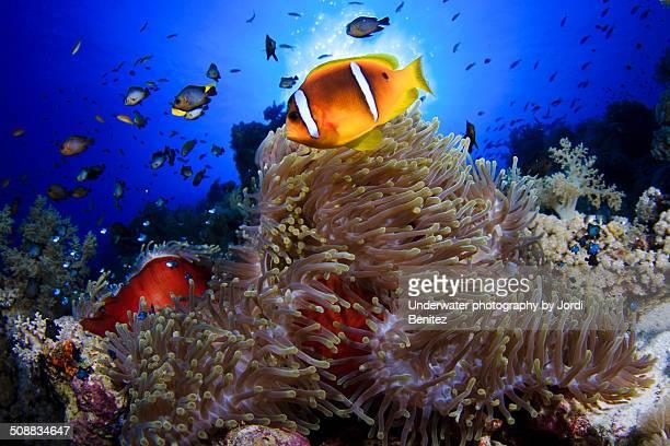 clown fish at anemone city - sharm el sheikh foto e immagini stock