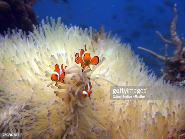 Clown Fish By Sea Anemone In Sea