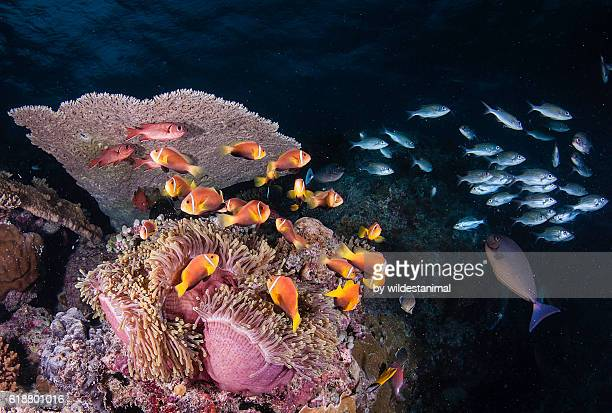 clown fish colony - un animal fotografías e imágenes de stock