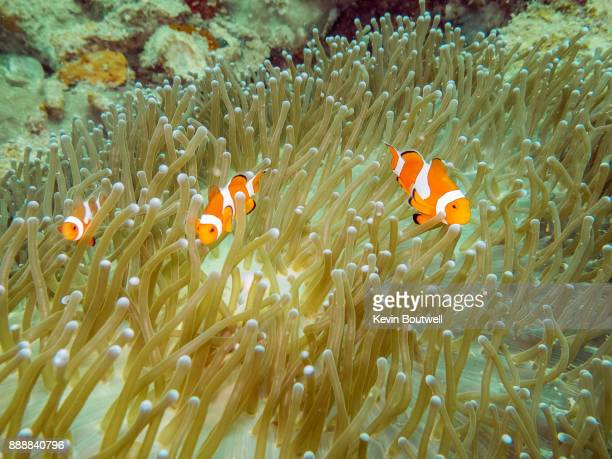 Clown Fish family in the Philippines
