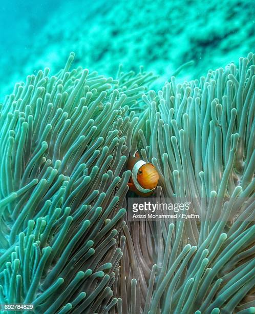Clown Fish Hiding Amidst Sea Anemone In Sea