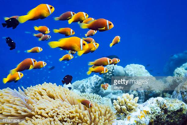 clown fish in anemone - reef stock pictures, royalty-free photos & images