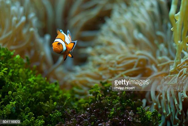 Clown fish in the water