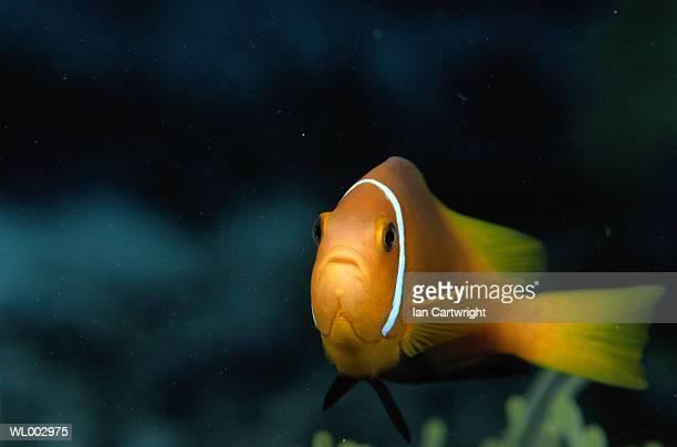 Clown Fish -- Maldives