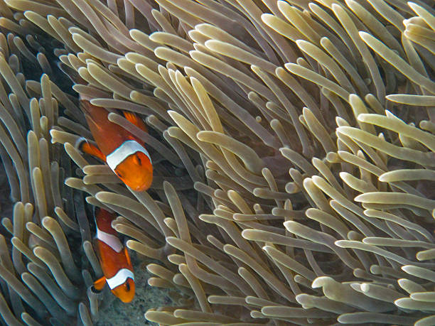 Clown fish (ko phi phi)