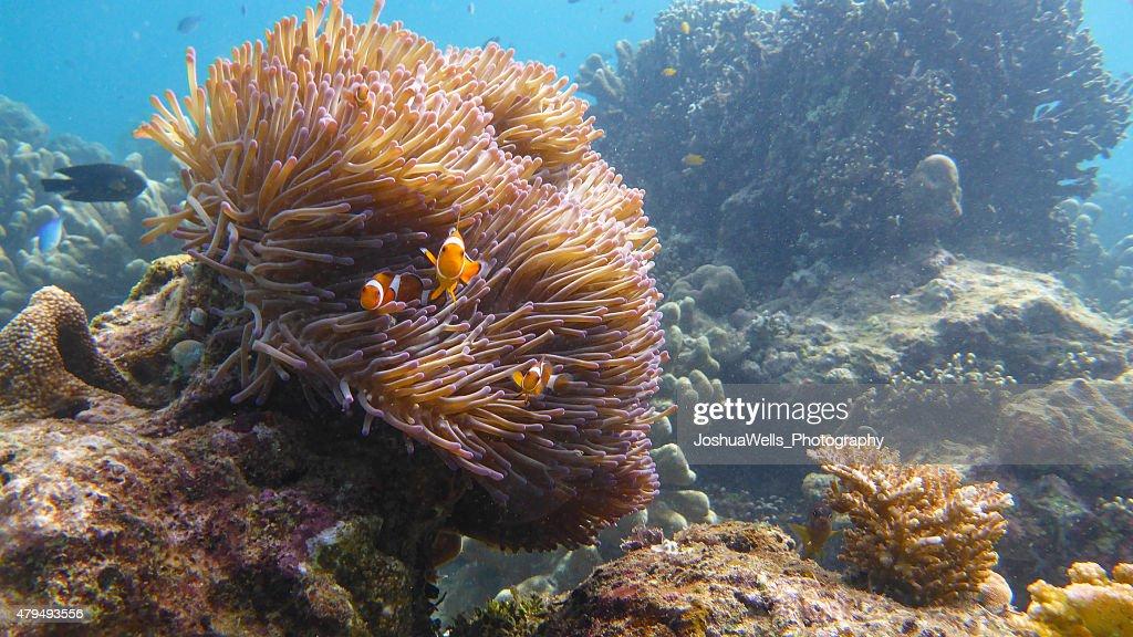 Clown Fish : Stock Photo
