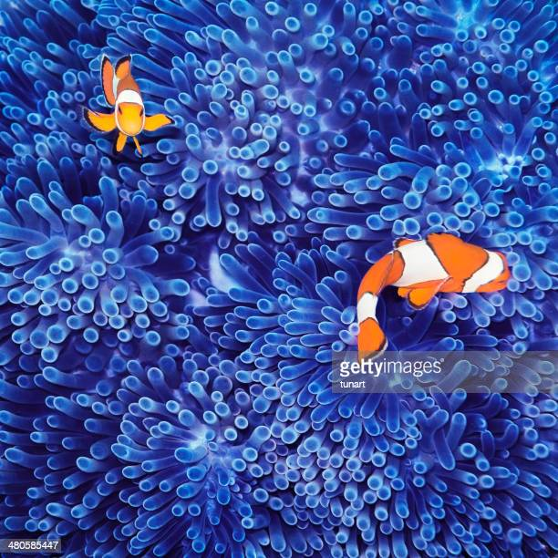 clown fish - reef stock pictures, royalty-free photos & images