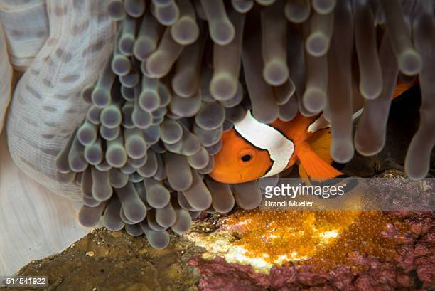 clown fish - negros oriental stock pictures, royalty-free photos & images