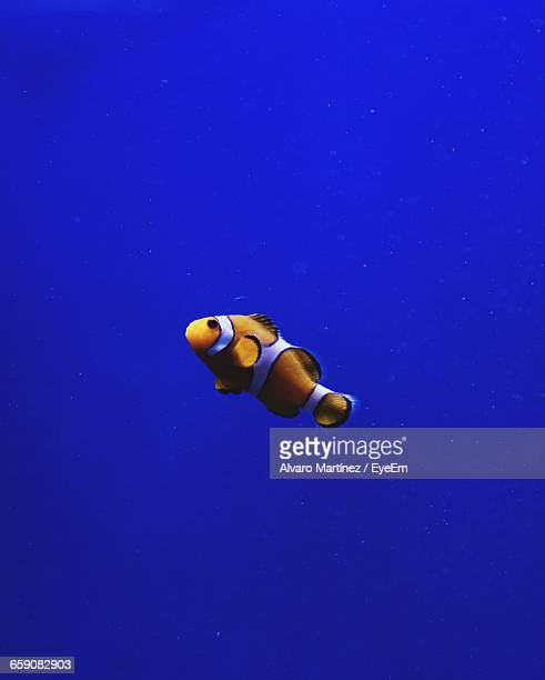 Clown Fish Swimming In Sea