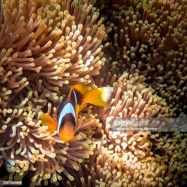 Clown Fish Underwater, anemone and sea life, Marsa Alam, Red Sea, Egypt