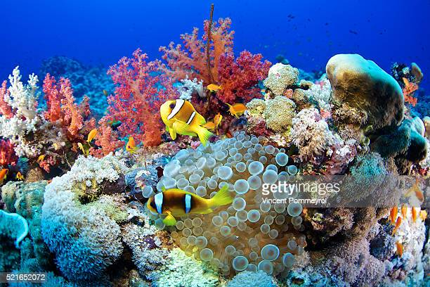 clown fish-amphiprion bicinctus - reef stock pictures, royalty-free photos & images
