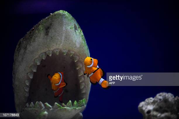 Clown Fishes at a pets shop in Caracas October 6 2010 AFP PHOTO/MIGUEL GUTIERREZ