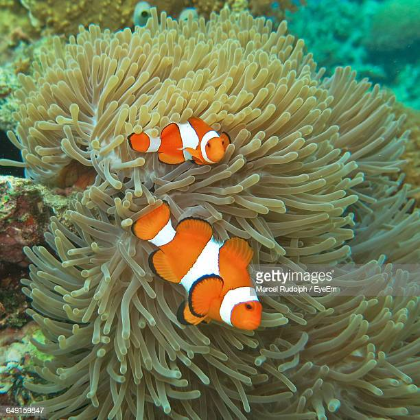 Clown Fishes Swimming By Coral In Sea