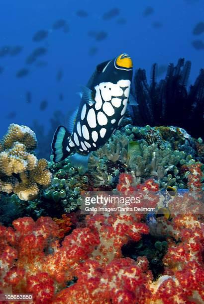 Clown triggeish (Balistoides conspicillum) swims past coral, Raja Ampat Islands, Irian Jaya, West Papua, Indonesia