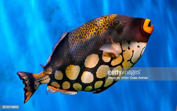Clown Trigger Fish in the Aquarium of the Biodomo of the Sciences Park in Granada, Spain