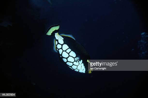 Clown Trigger Fish -- Maldives