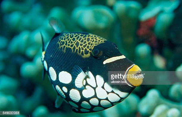 Clown triggerfish Balistoides conspicillum Indonesia Wakatobi Dive Resort Sulawesi Indian Ocean Bandasea