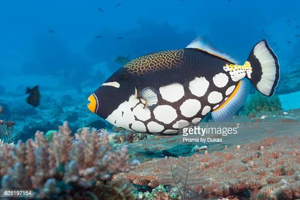 Clown Triggerfish Balistoides conspicillum Komodo National Park Indonesia