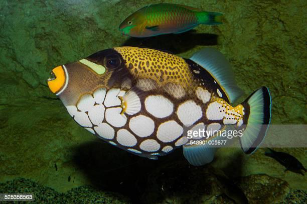 Clown triggerfish in acuarium