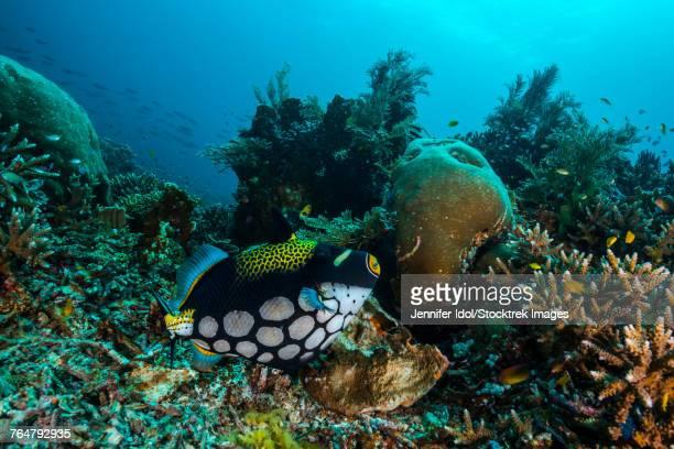 Clown triggerfish in Raja Ampat, Indonesia.