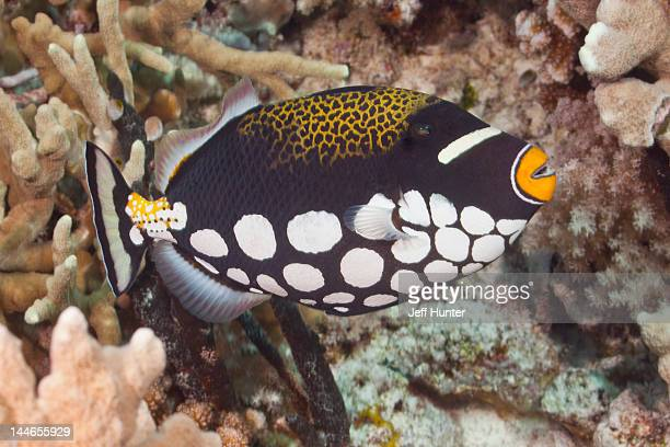 Clown Triggerfish on a tropical coral reef