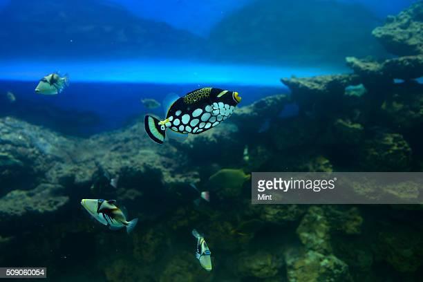Clown Triggerfish on display at Taraporwala Aquarium clicked on February 25 2015 in Mumbai India