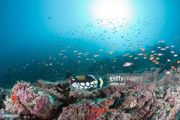 Clown Triggerfish over Reef Balistoides conspicillum Medhu Faru Reef South Male Atoll Maldives