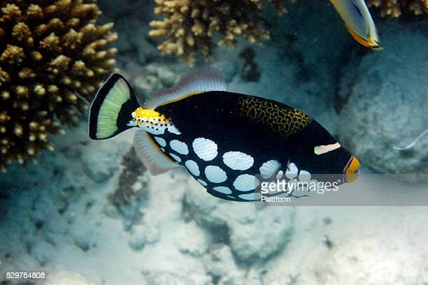 A clown triggerfish