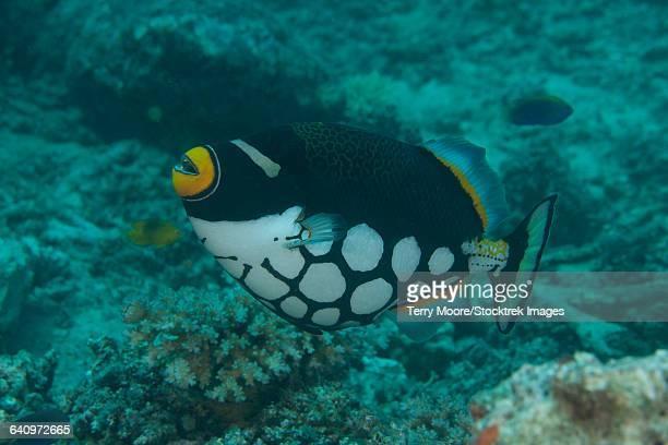 Clown triggerfish (Balistoides conspicillum) swimming at Beqa Lagoon, Fiji.