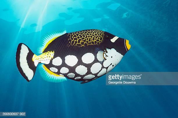 Clown triggerfish, underwater view, (digital composite)