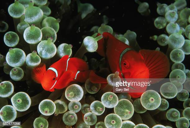 Clownfish among anemones