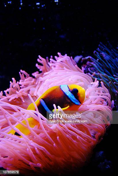 clownfish and anemone - sursly stock pictures, royalty-free photos & images