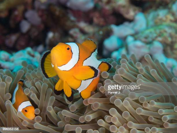 clownfish and anemone - ponnie stock pictures, royalty-free photos & images