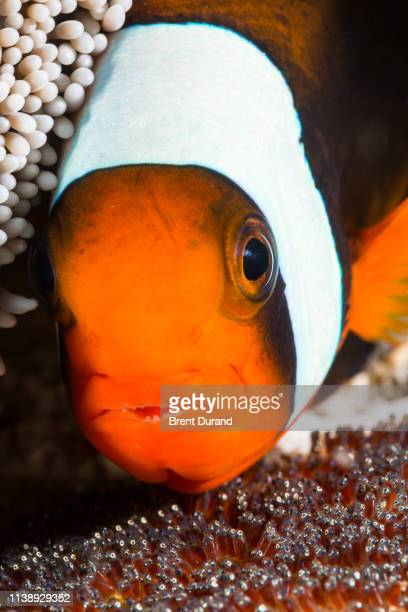 clownfish and eggs - orange fin clownfish stock photos and pictures