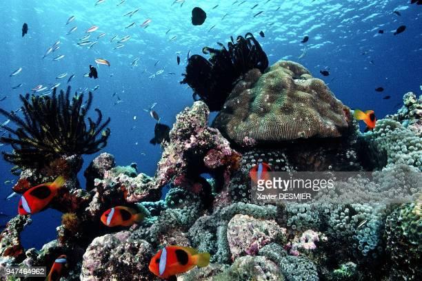 Clownfish and its anemone Lifou Island New Caledonia NouvelleCalédonie Poissonsclowns bistrés et deux crinoïdes qui font partie des Echinodermes des...