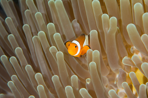Clownfish and nudibranch by anemone, Komodo National Park, Lesser Sunda Islands, Indonesia - gettyimageskorea
