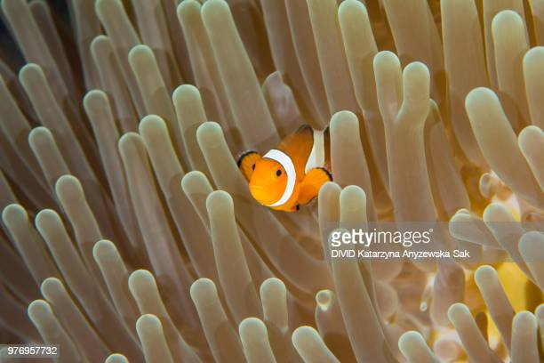 clownfish and nudibranch by anemone, komodo national park, lesser sunda islands, indonesia - mariner lebensraum stock-fotos und bilder