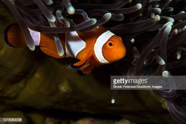 Clownfish anemonefish, Anilao, Philippines.