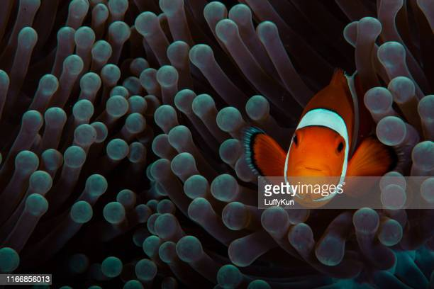 clownfish anemonefish en el jardín de coral de agua salada tropical amphiprion percula - pez tropical fotografías e imágenes de stock