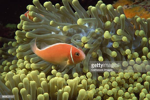 Clownfish by anemone
