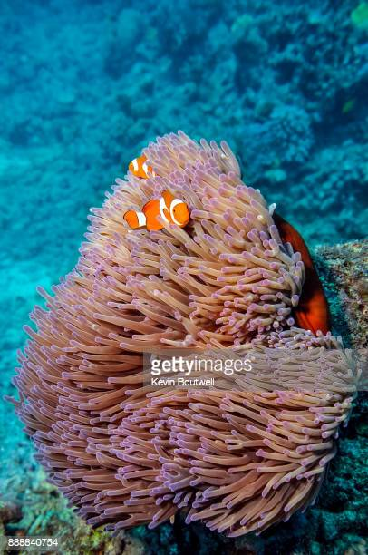 clownfish family on the great barrier reef - great barrier reef stock pictures, royalty-free photos & images
