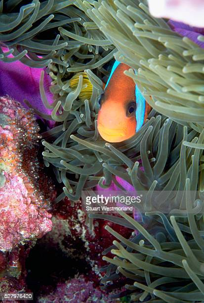 clownfish guards eggs in anemone - orange fin clownfish stock photos and pictures
