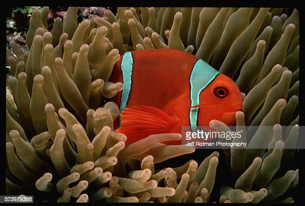A clownfish hides in the protection of a sea anemone's tentacles