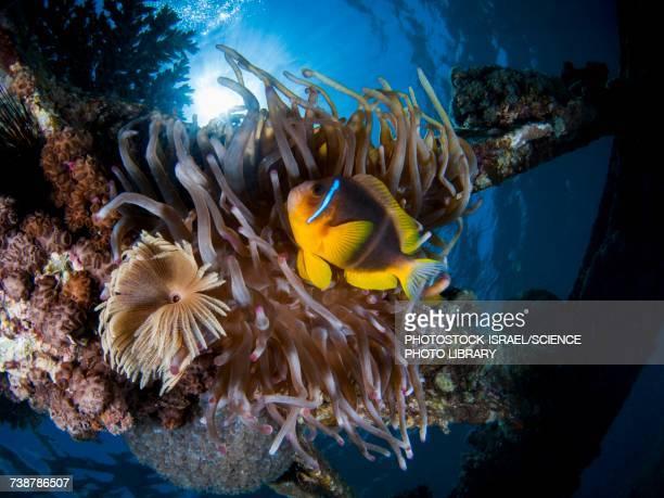 Clownfish in a Sea Anemone