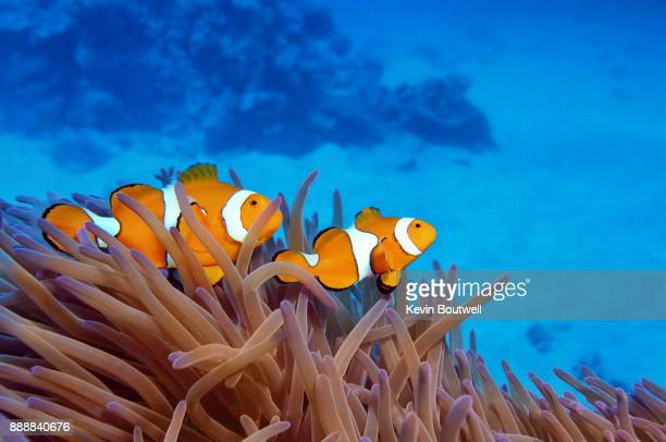 clownfish in anemone on the great barrier reef - great barrier reef stock pictures, royalty-free photos & images