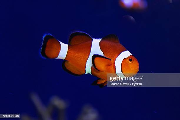 Clownfish In Blue Water