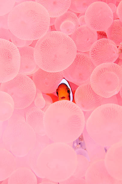 Clownfish in Corals