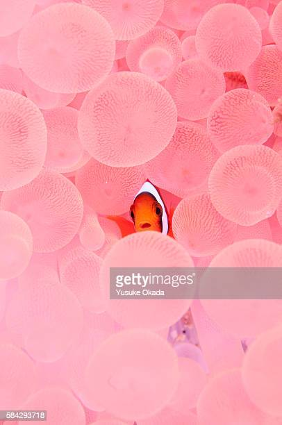Clownfish in Corals
