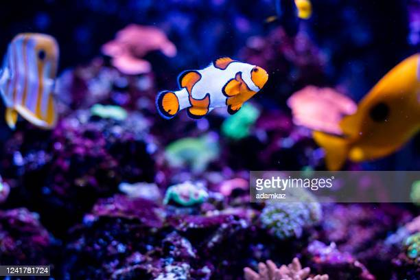 魚の水槽のカクレクマノミ - 熱帯魚 ストックフォトと画像